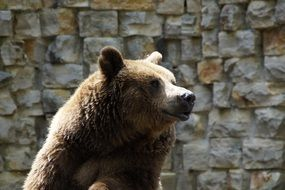 Brown Bear in front of stone wall in zoo