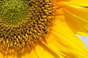 insect on yellow sunflower petals