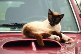 siamese cat lying on the red car