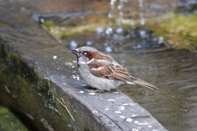 cute beautiful Sparrow