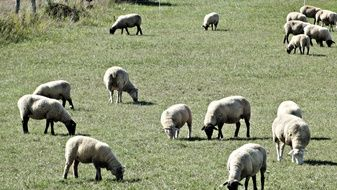 a herd of sheep graze in a meadow