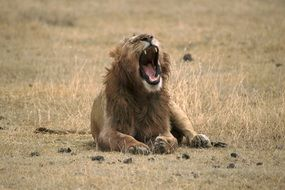 picture of the wild Lion Yawning