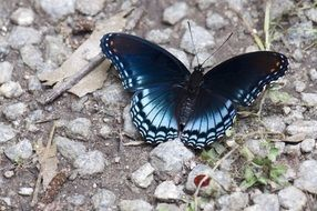 dark blue butterfly on the ground