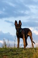 Brown young Malinois