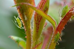 closeup of a large rose aphids