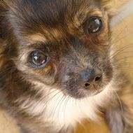 chihuahua puppy with an expressive look