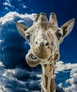 funny portrait of a giraffe