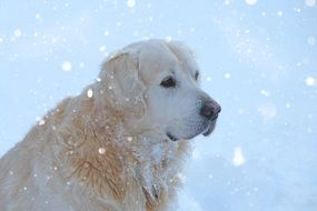 Golden Retriever under the snow