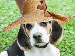beagle dog in hat