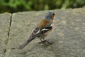 chaffinch on the rock