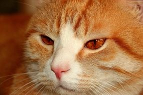 portrait of a red cat with brown eyes