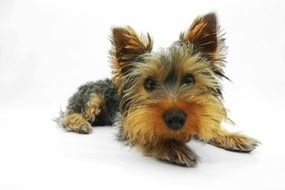 pretty Yorkshire Terrier Dog