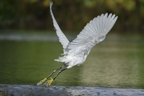 snowy egret takes off over the swamp