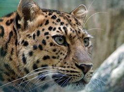 photo of spotted leopard head in Asia