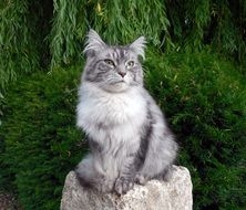 gray cat with long fur on the stone