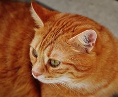 cuddly red tabby cat