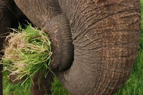 Elephant is eating grass