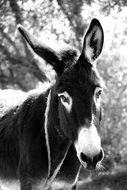 Black and white photo of the thoroughbred Donkey