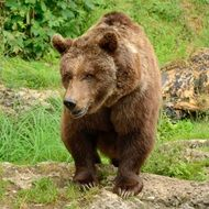 wandering brown bear