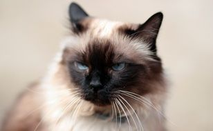 domestic siamese cat with blue eyes