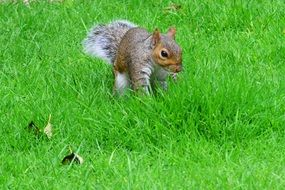 gray squirrel on green grass