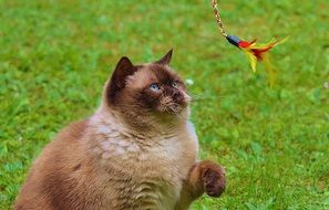 playful british shorthair thoroughbred cat