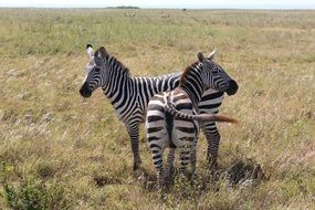 Two Striped Zebras in africa savannah