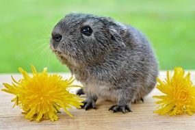 gray guinea pig and yellow dandelions