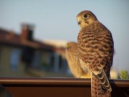 Kestrel Wild Bird sitting