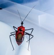 Beetle Insect red