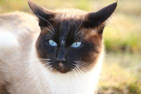 siamese cat with long whiskers