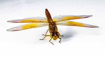 isolated dragonfly with yellow wings
