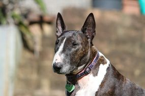 wondrous Bull Terrier Dog