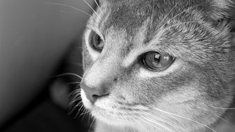 Abyssinian Cat, Black And White head portrait