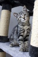 sweet grey tabby cat