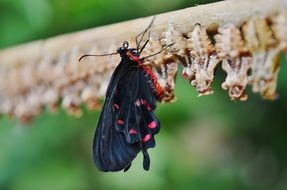 just hatched out black and red butterfly