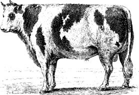 black and white drawing of a spotted cow