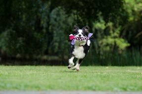 running border collie with a toy