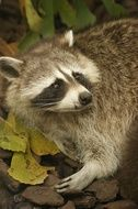 picture of the Raccoon in the zoo