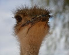 Natural Ostrich in South Africa