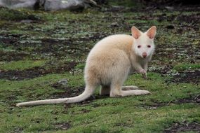 Kangaroo White Animal