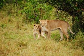 lioness and lion cub in the wild