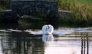 white swan on the evening lake