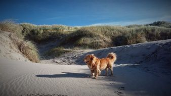 golden retriever in the sand dunes