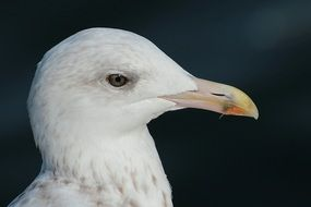 portrait of a herring gull