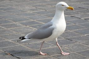 seagull bird walking
