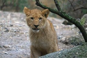Young Lion in Zoo