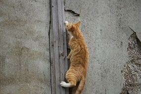 climbing red tabby cat