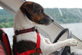 Jack Russell Terrier rides