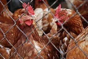 domestic poultry behind the mesh